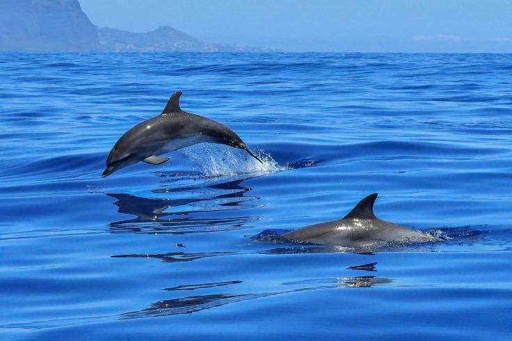 dolphin-2691864_1920