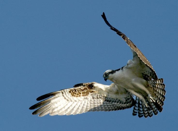 osprey-948832_1280