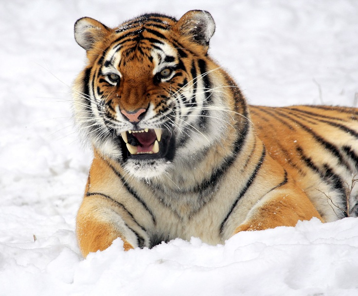 tiger-snow-growling-zoo-40661